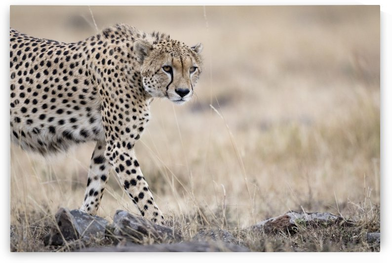 Cheetah Bro by JADUPONT PHOTO