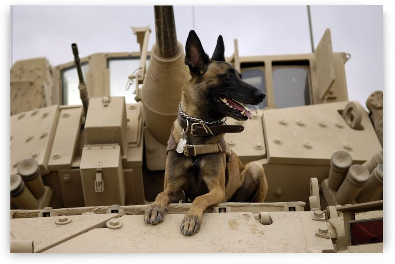 A military working dog sits on a U.S. Army M2A3 Bradley Fighting Vehicle. by StocktrekImages