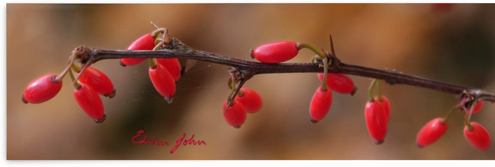 Purple Japanese Barberry berries Autumn colour by Edwin John by Edwin John