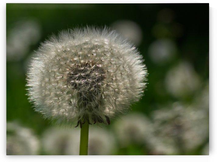 Dandelion seeds white fur by CiddiBiri