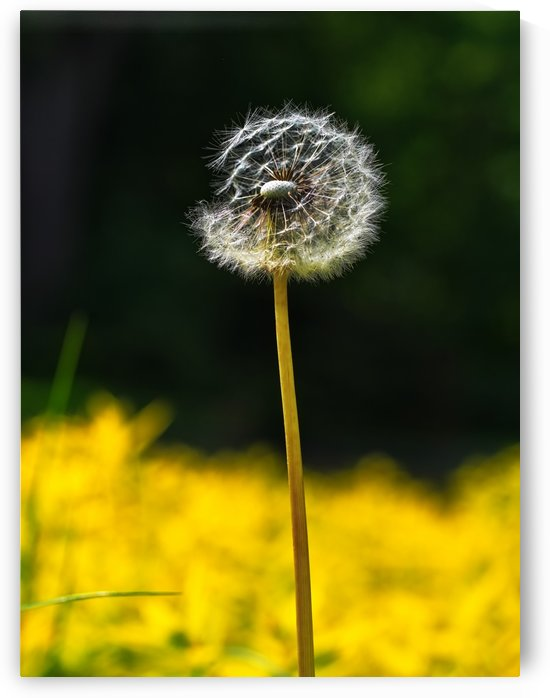 Single dandelion seeds shining on the Sunlight in to the park by CiddiBiri