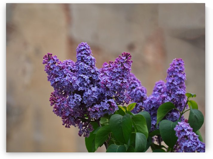 Lilac trees purple flowers by CiddiBiri