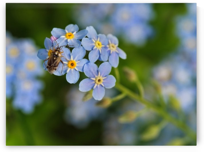 insect on the blue flowers by CiddiBiri