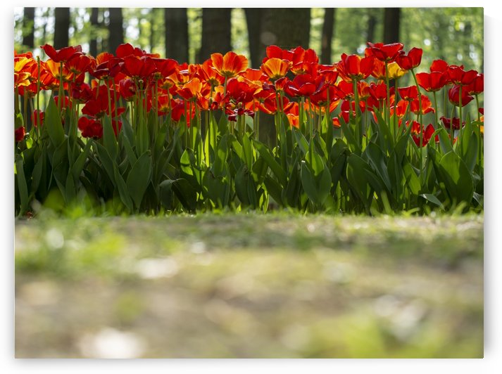 Red tulpis in park from side view by CiddiBiri