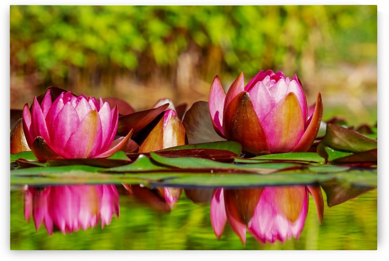 WATERLILY by ART AND INSPIRATION