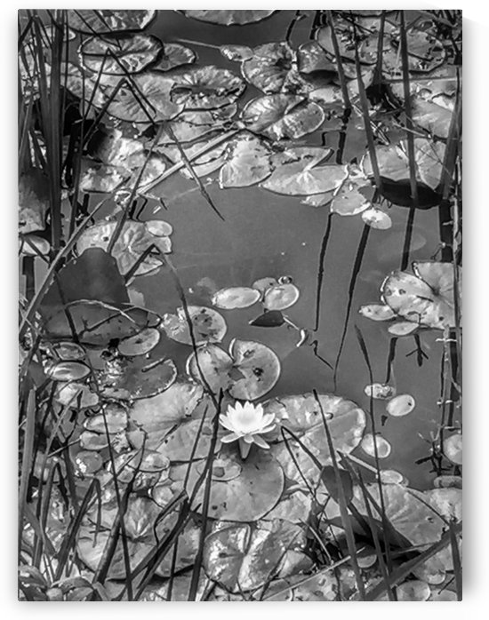 Lily pads in Black and white by Pamela Winter