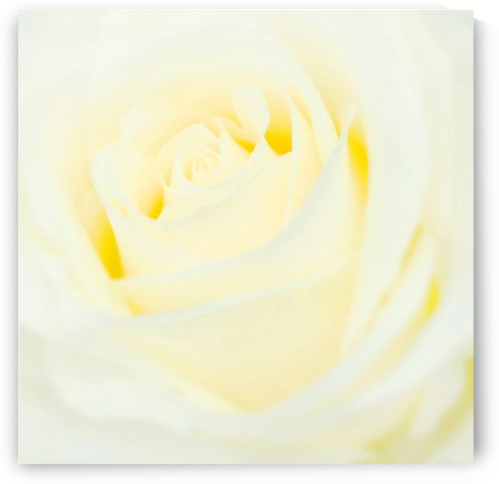The White Rose by Busybee-CR Photography