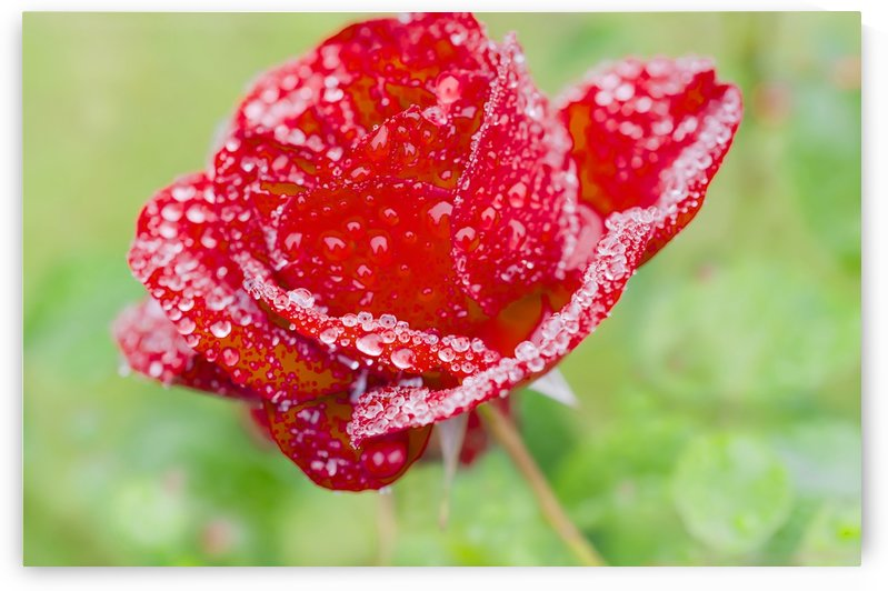 Raindrops and Roses by Busybee-CR Photography