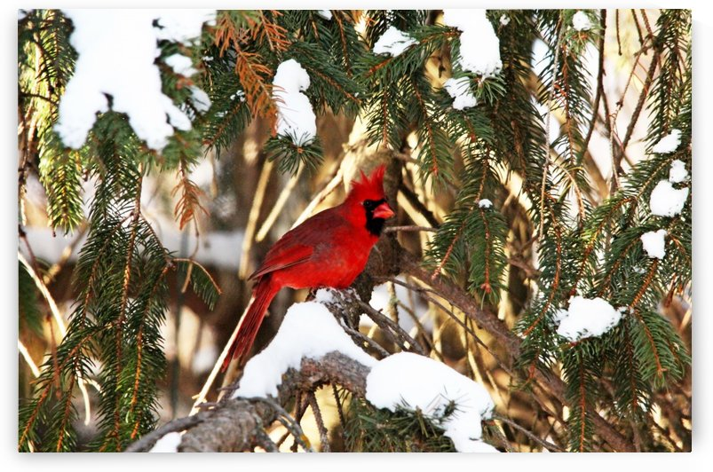 Northern Cardinal In Winter by Deb Oppermann