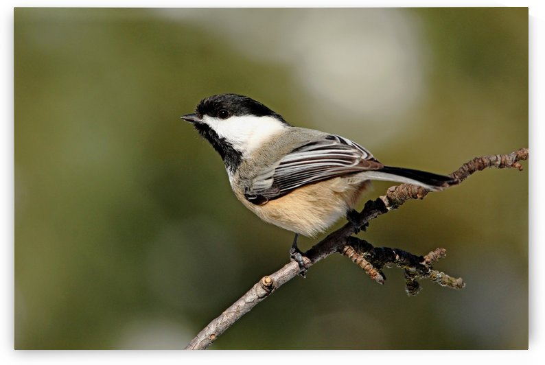 Chickadee by Deb Oppermann