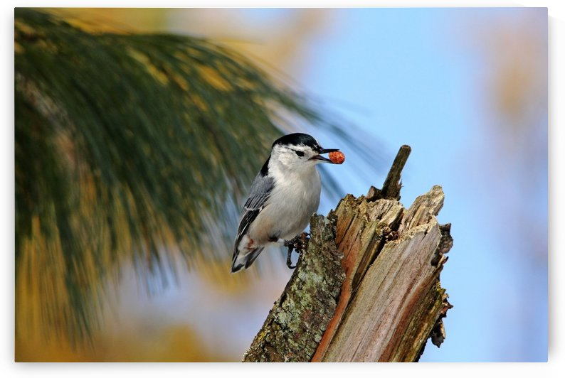 Nutty Nuthatch by Deb Oppermann