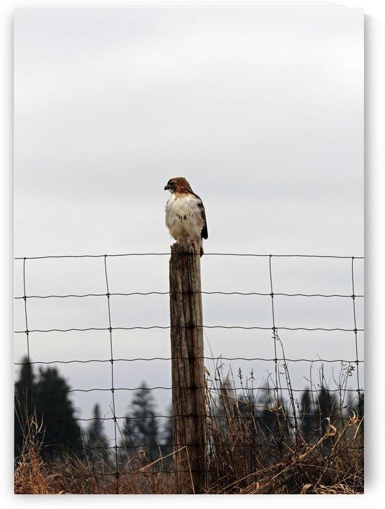Red Tailed Hawk On The Lookout by Deb Oppermann