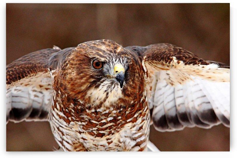 Broad   Winged Hawk by Deb Oppermann