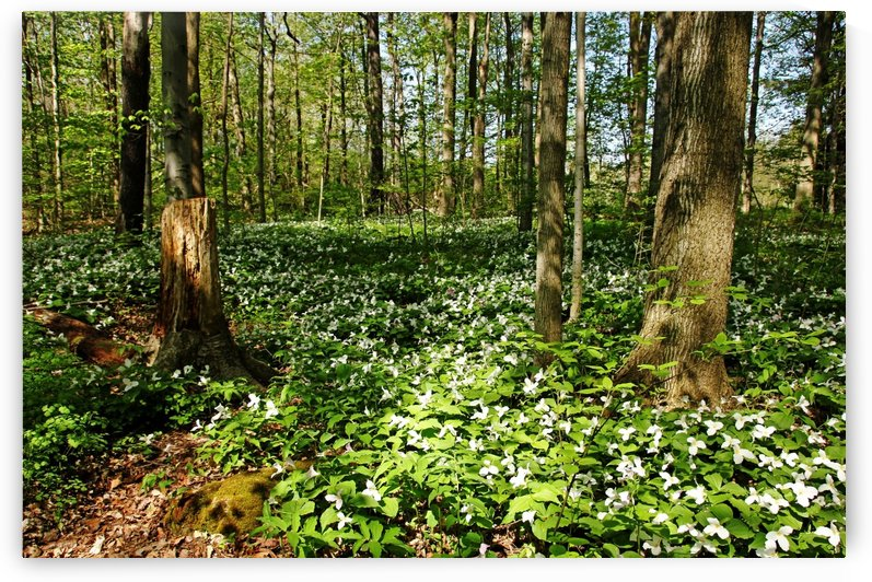 The Trillium Woods by Deb Oppermann