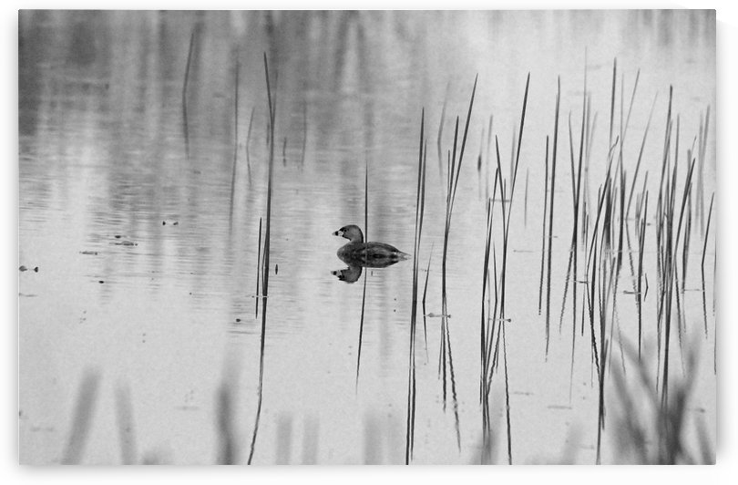 Grebe Black And White by Deb Oppermann