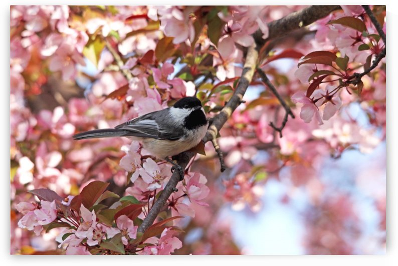 Chickadee In The Pink Blossoms by Deb Oppermann