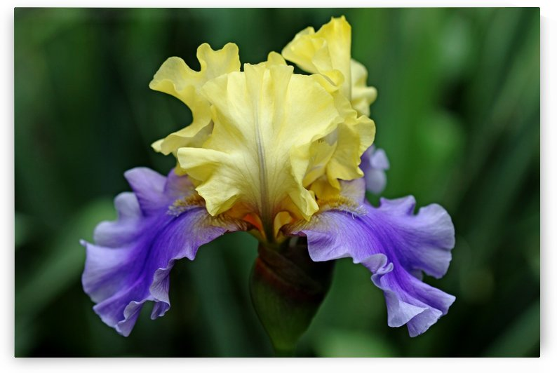 Lavender And Yellow Iris by Deb Oppermann