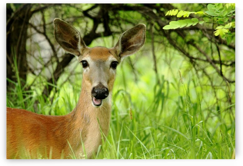 White   Tailed Deer Close Up by Deb Oppermann