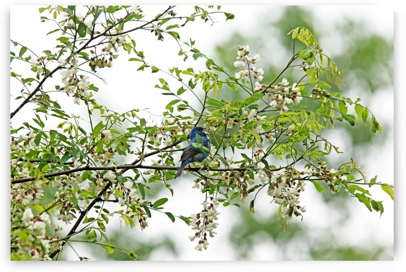Singing Indigo Bunting In Spring Blossoms by Deb Oppermann
