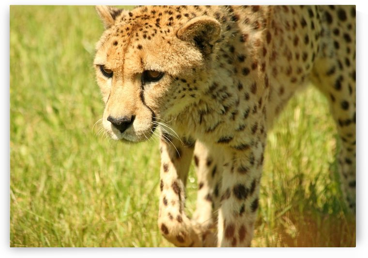 Cheetah   The Fastest Land Animal by Deb Oppermann