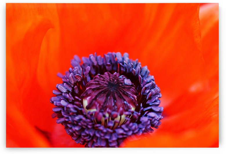 Poppy Whorl by Deb Oppermann
