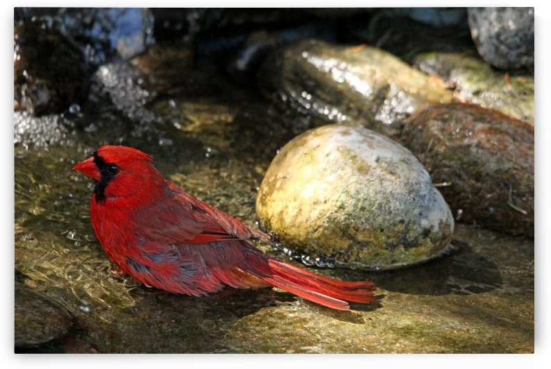 Northern Red Cardinal Bathing by Deb Oppermann