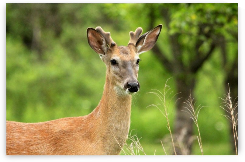 White Tailed Buck by Deb Oppermann