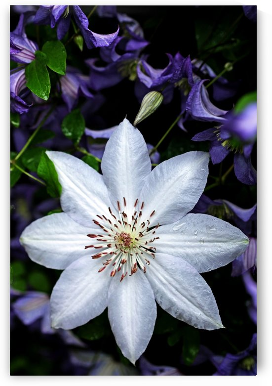 White Clematis Surrounded By Purple Clematis I by Deb Oppermann