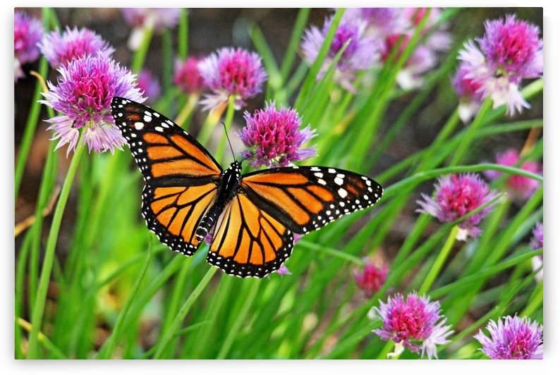 Monarch And Chives by Deb Oppermann