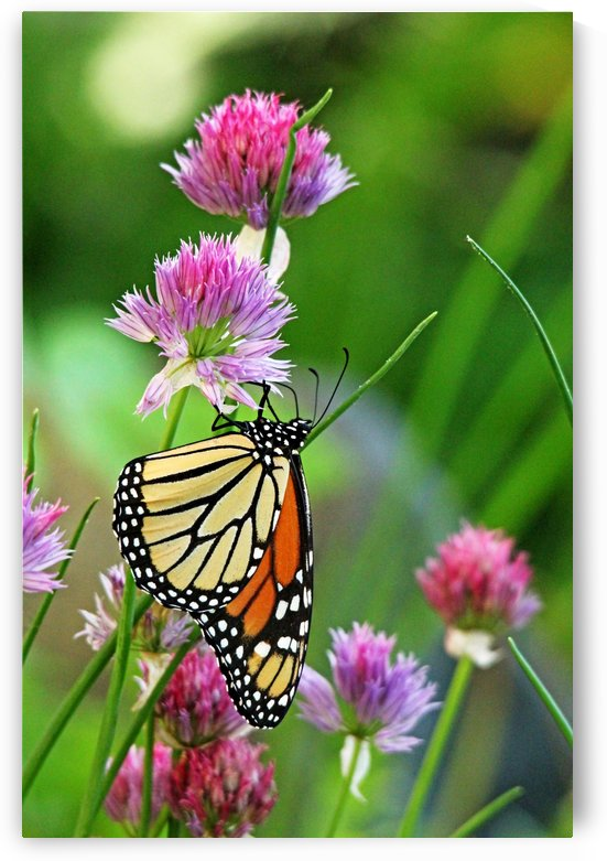 Monarch Butterfly On Chive Blooms by Deb Oppermann