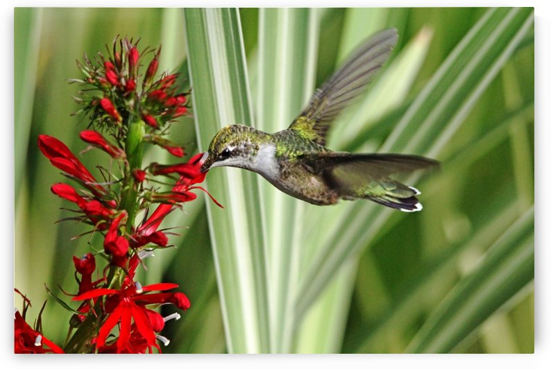 Hummingbird And Lobelia by Deb Oppermann