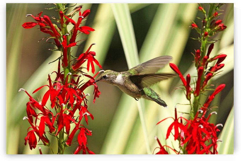 Nectar For Hummingbirds by Deb Oppermann