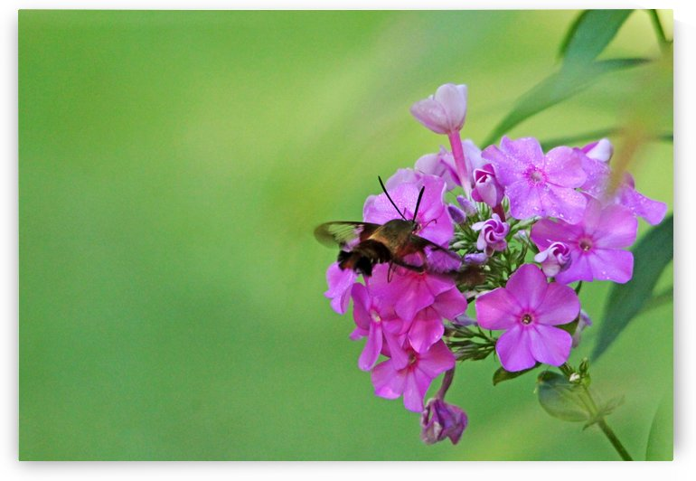 Hummingbird Moth And Pink Phlox by Deb Oppermann