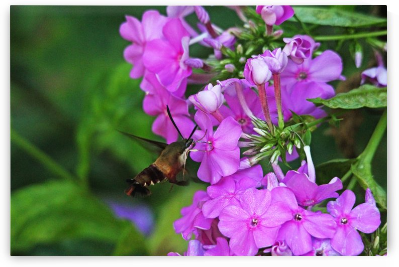 Hummingbird Moth Loving Pink Phlox by Deb Oppermann