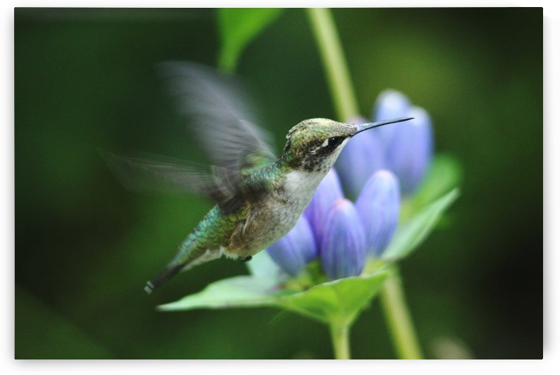 Hummingbird And Gentian Blue by Deb Oppermann