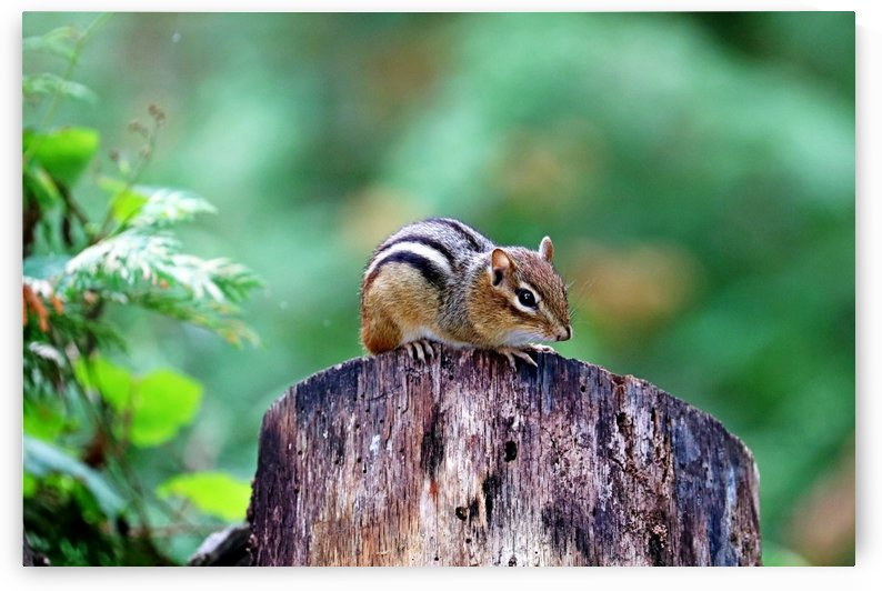 Chipmunk On Log by Deb Oppermann