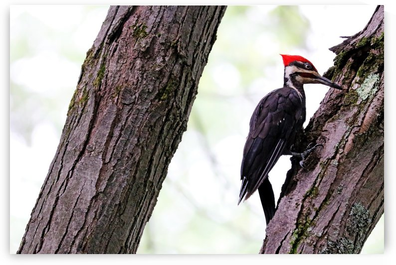 Pileated Woodpecker Checking The Cracks by Deb Oppermann