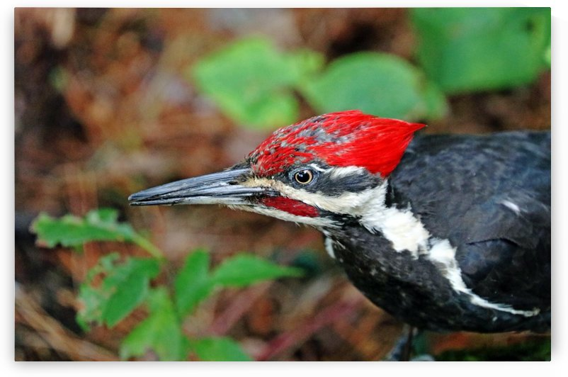 Juvenile Male Pileated Woodpecker by Deb Oppermann