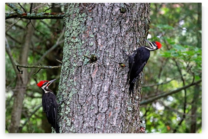 Male And Female Pileated Woodpeckers by Deb Oppermann