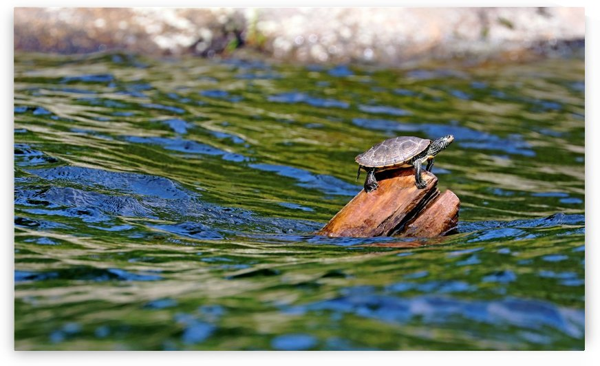 Map Turtle by Deb Oppermann