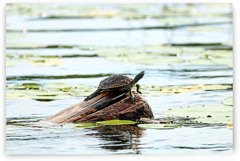 Map Turtle I by Deb Oppermann