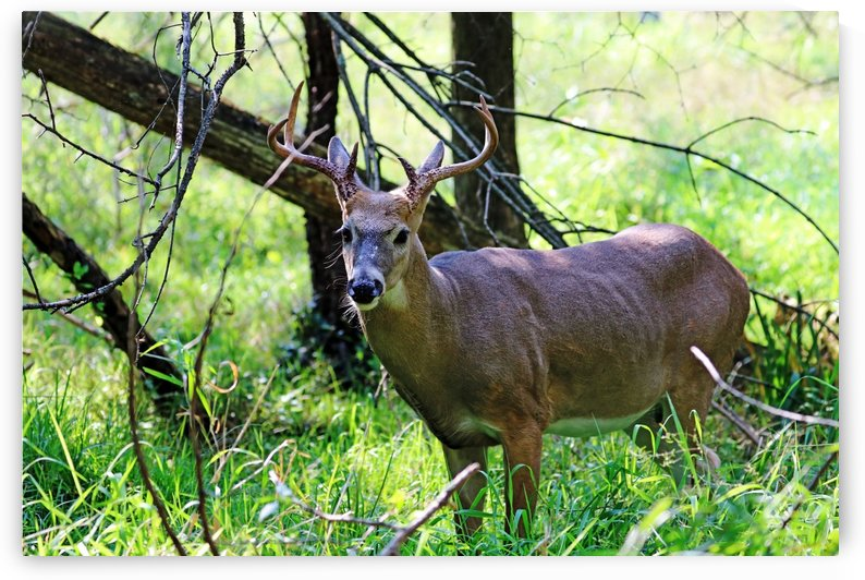 A Buck In The Grass by Deb Oppermann