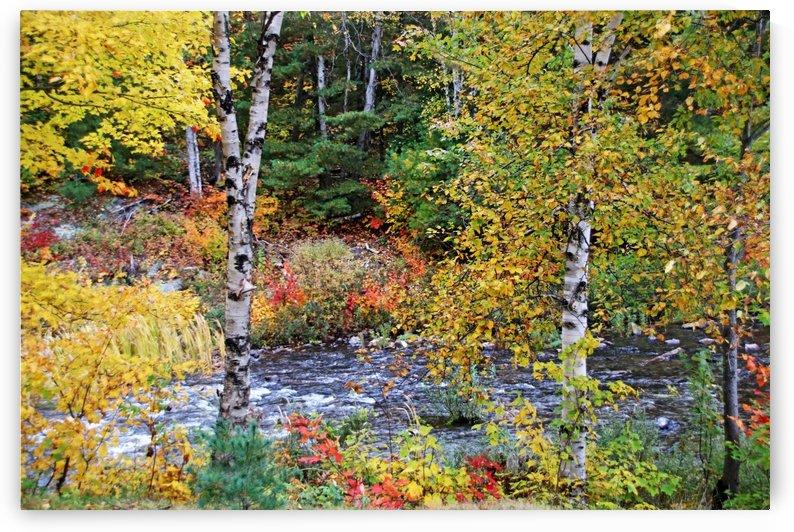 Autumn Birch Trees by Deb Oppermann