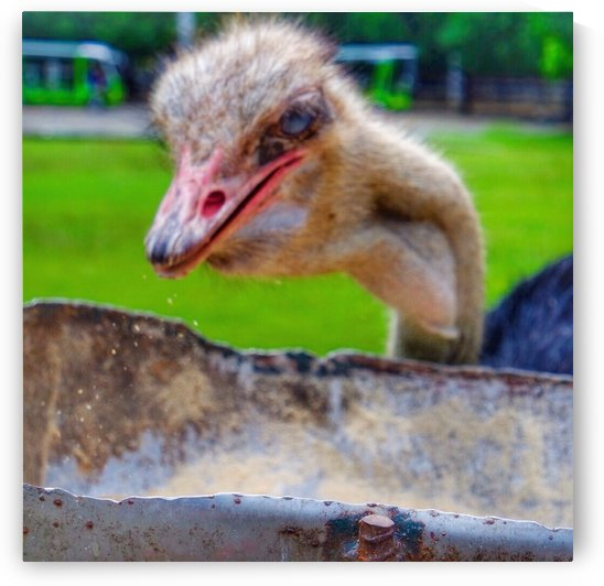Hungry ostrich_1541903048.32 by Karen