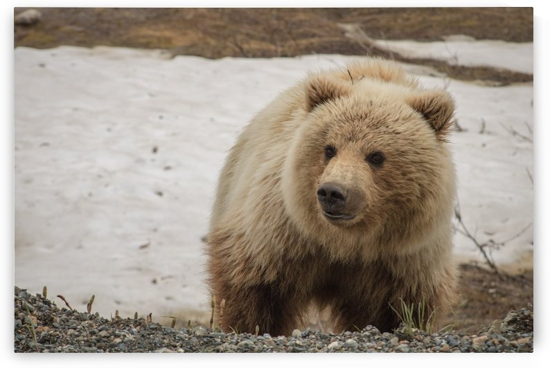 Wild Bear by Stan Reese