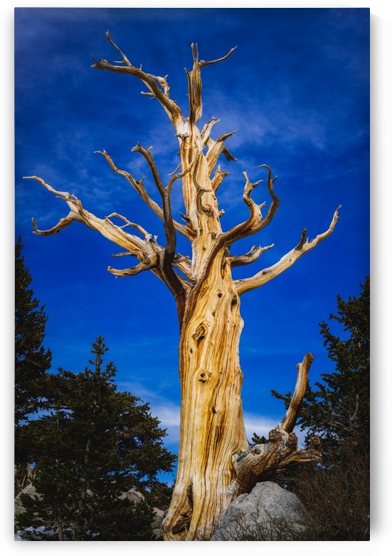 The Dead Tree by Walter D Beauchamp