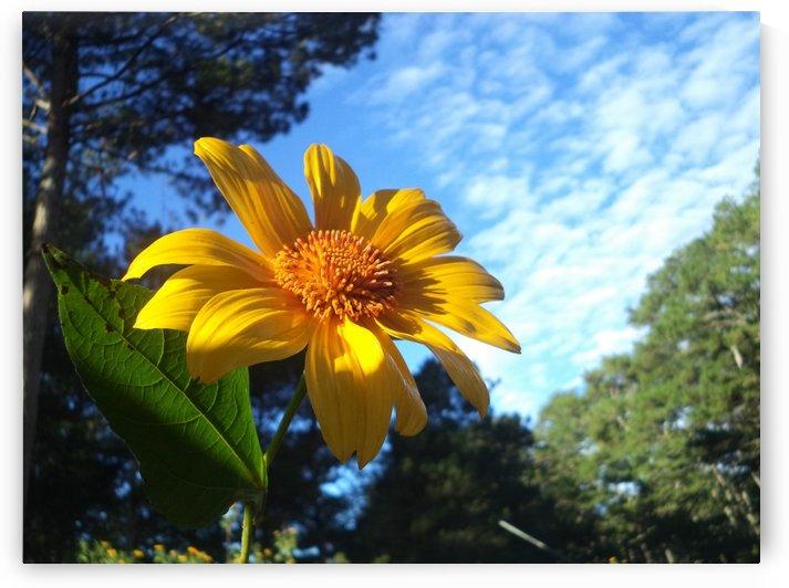 Sun Flower in Sagada Philippines by Karen