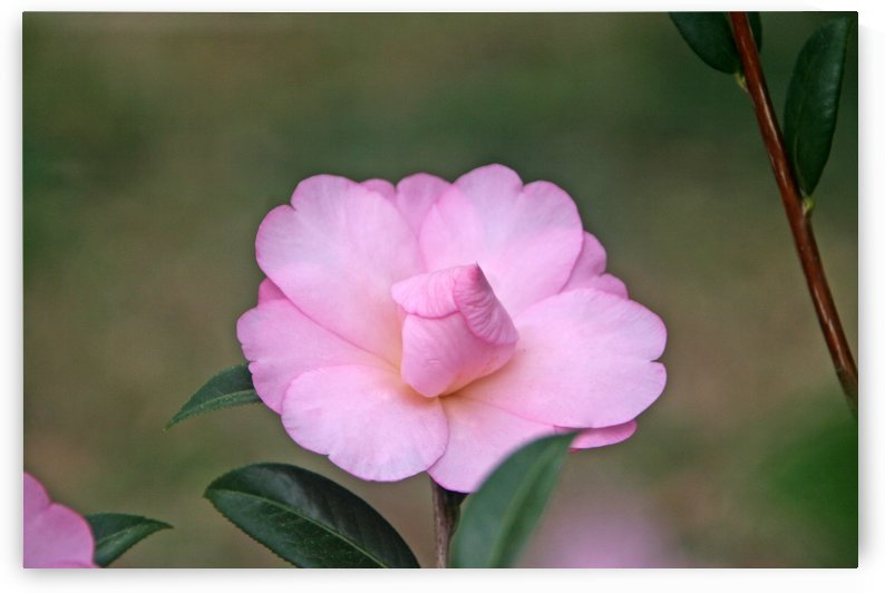 Pink Camellia by Deb Colombo
