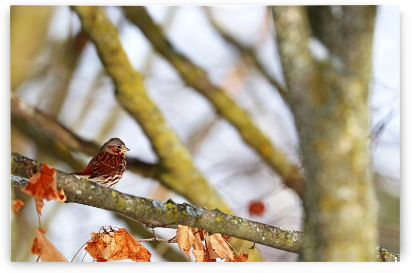 Fox Sparrow In Fall by Deb Oppermann