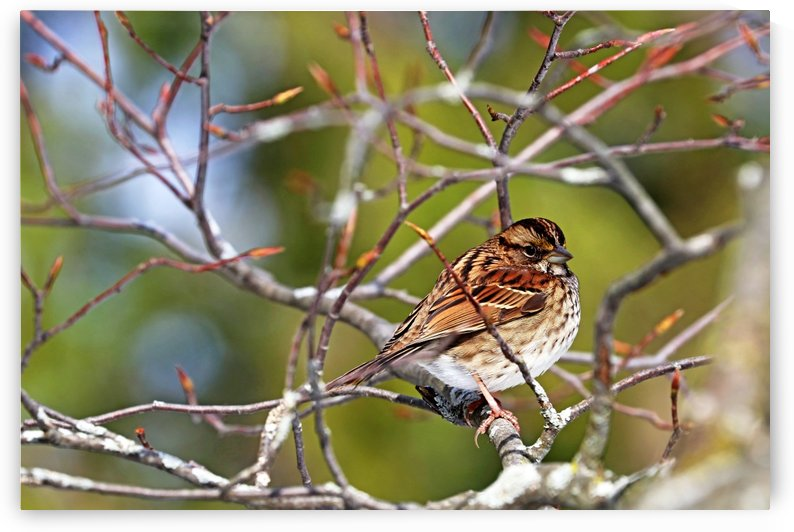 White Throated Sparrow by Deb Oppermann